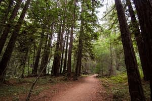 Redwood trees at the Forest of Nicene Marks, not too far from Scotts Valley