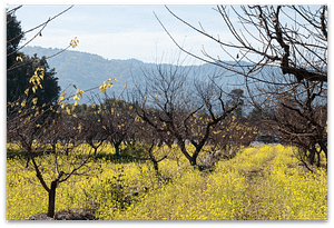 Orchard Hills and Mustard in Saratoga CA