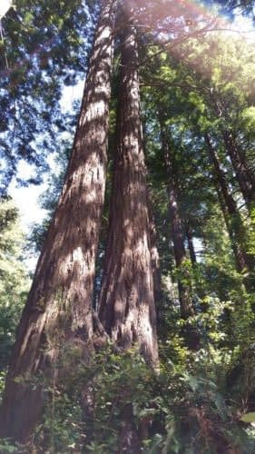Boulder Creek is filled with towering redwood trees